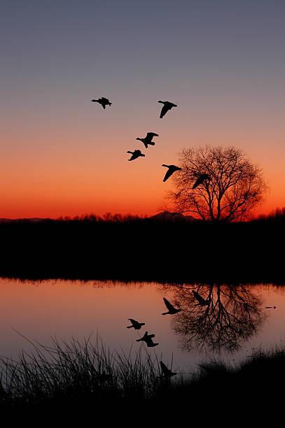 Ducks at Sunset stock photo