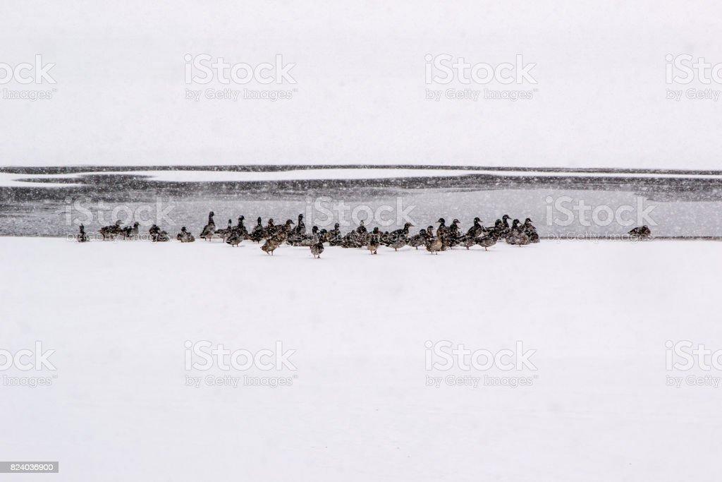 Ducks at the frozen lake stock photo
