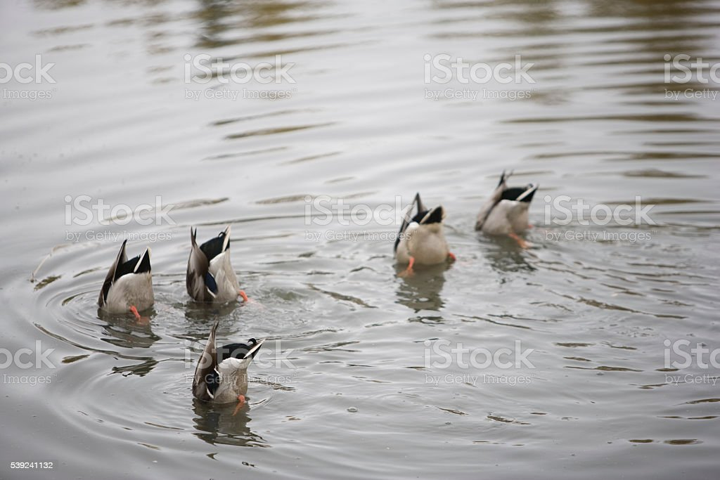 Ducks Feeding royalty-free stock photo