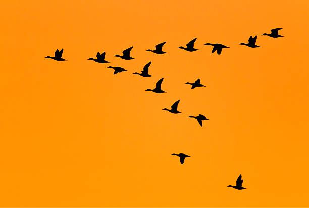 Ducks flying in V Formation at Sunrise stock photo