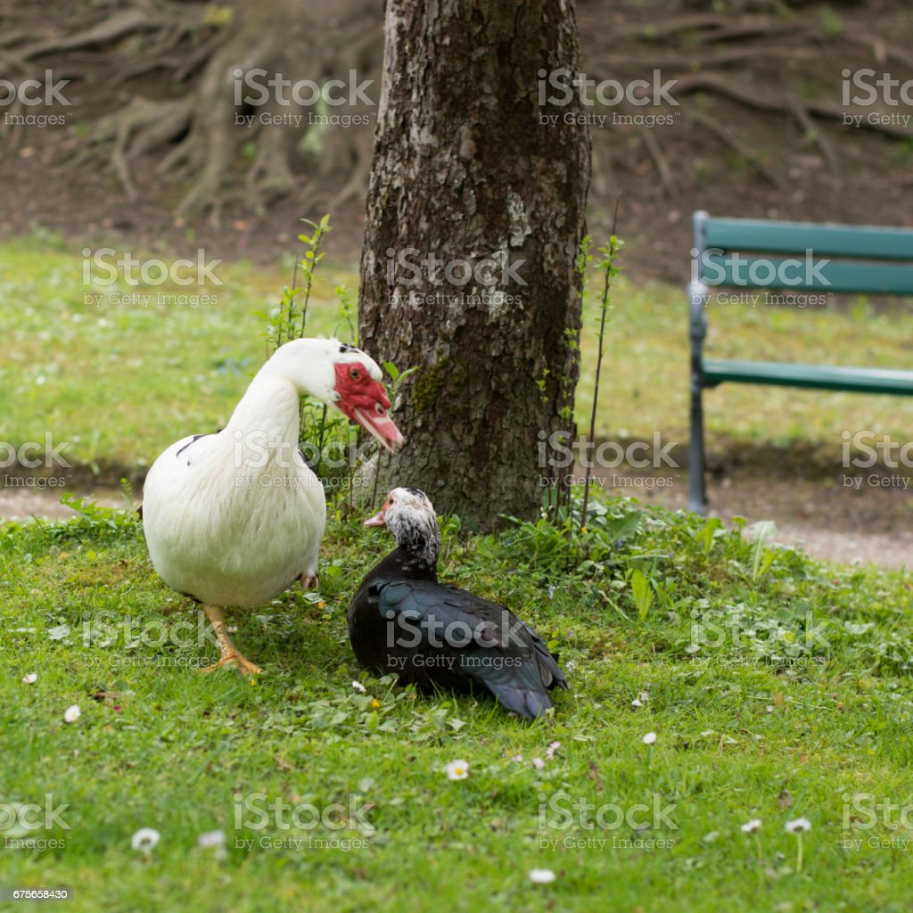 2 ducks in  a park royalty-free stock photo