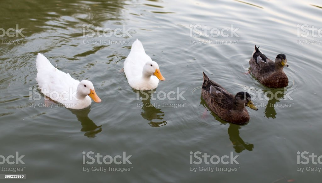 ducks in a pond in nature stock photo