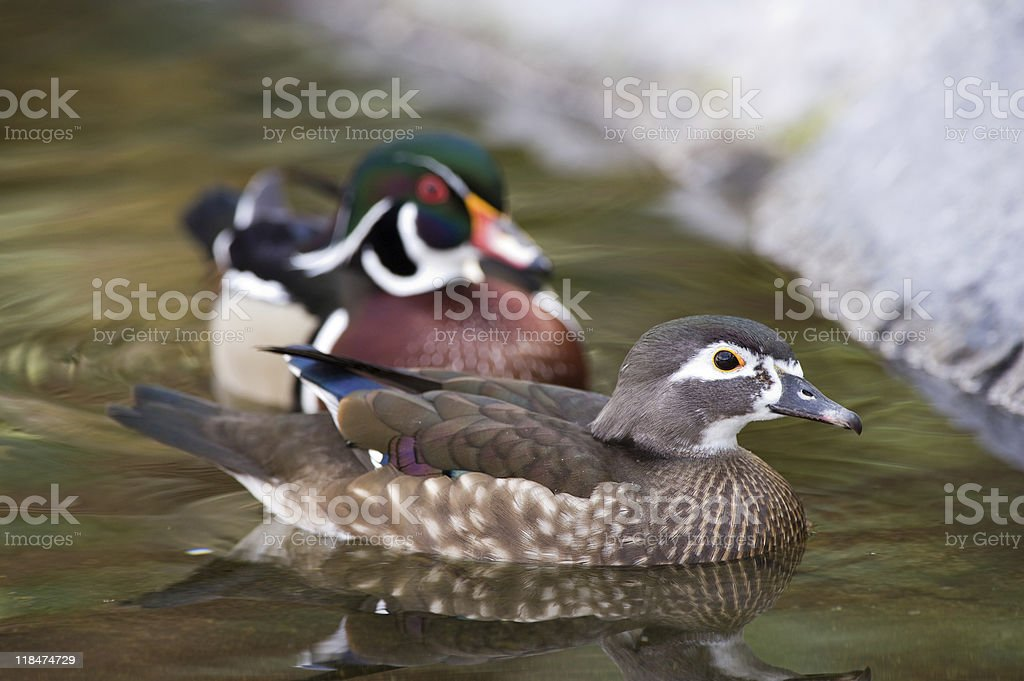 Ducks in a pond stock photo