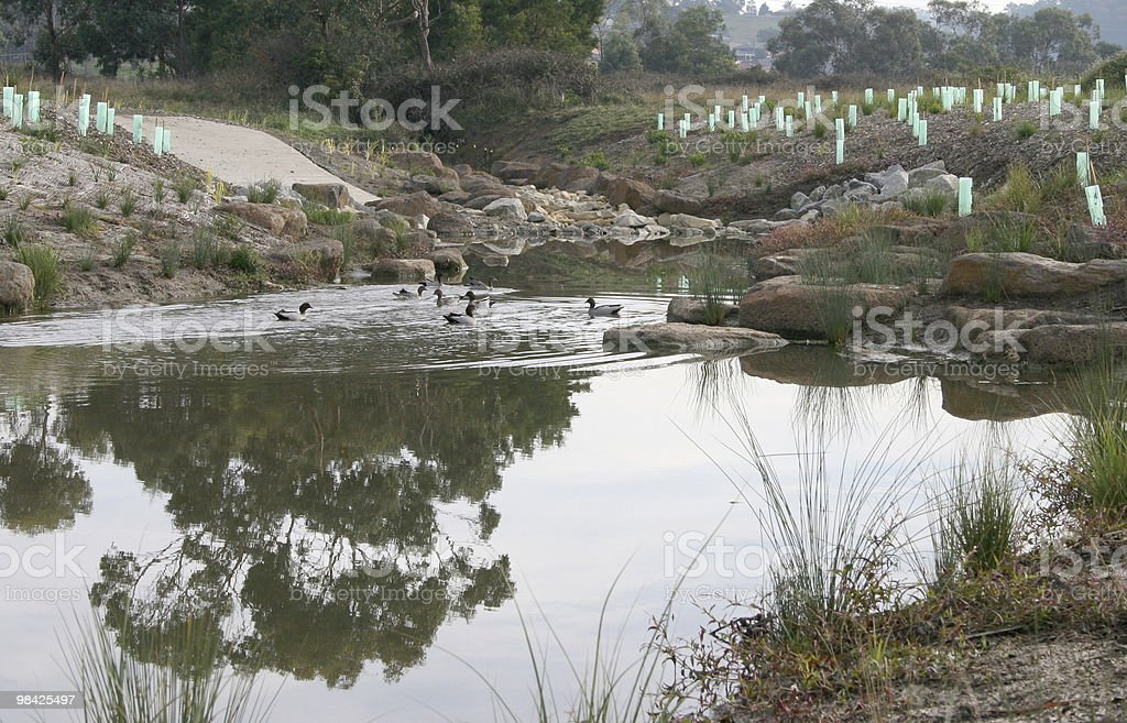 Ducks in a pond royalty-free stock photo