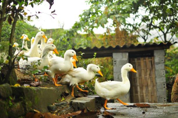 Ducks in a row leading the pack picture id1070278894?b=1&k=6&m=1070278894&s=612x612&w=0&h=5nvh4j97hjbioycldxoadlrj8is6jouxzrnstrkgeg0=