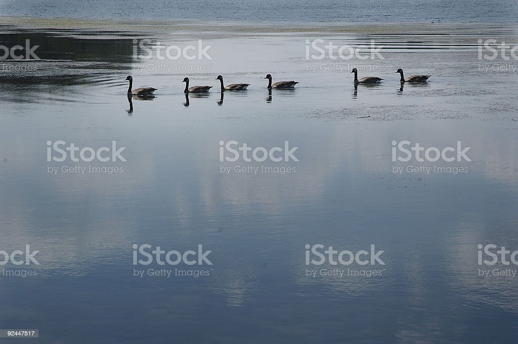 Ducks in a Row royalty-free stock photo