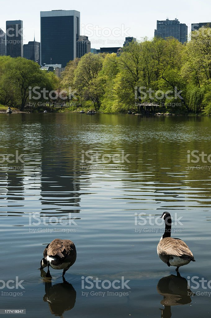 ducks in central park stock photo