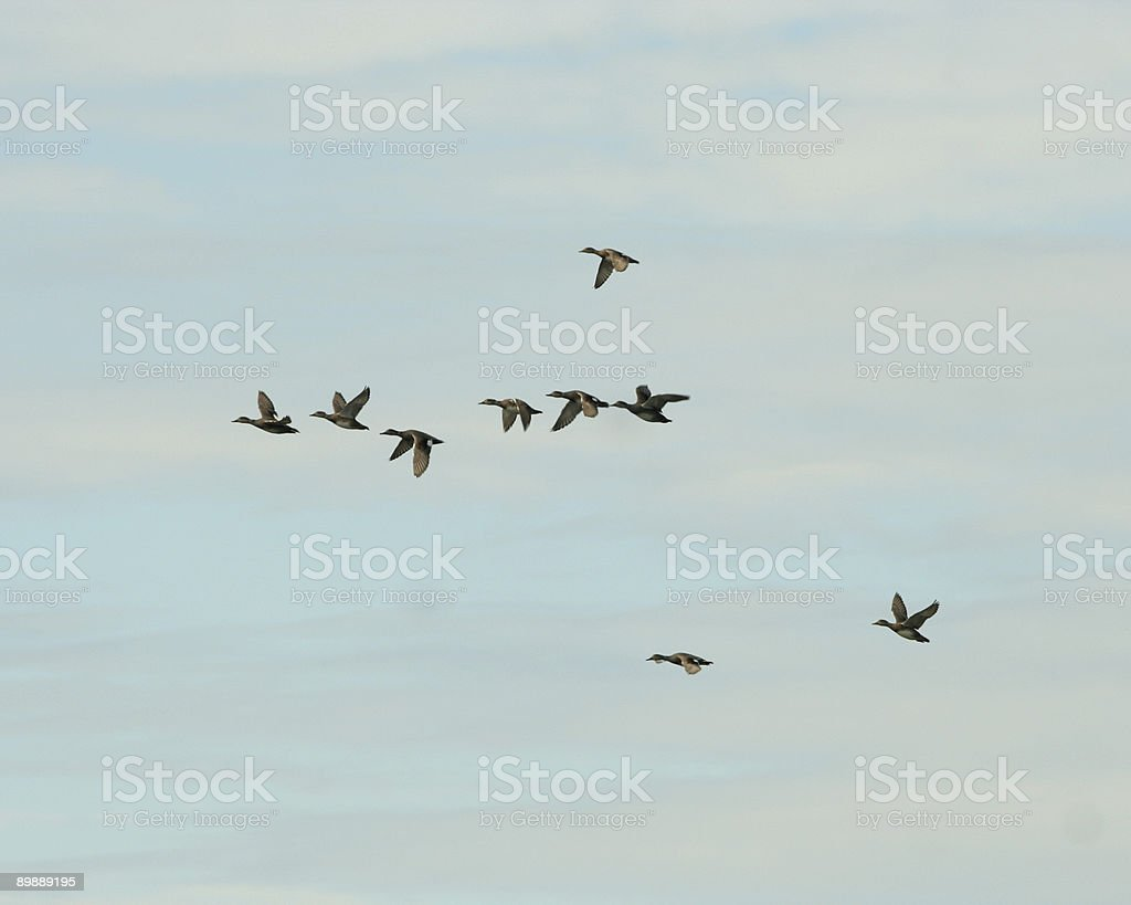 Ducks in Flight royalty-free stock photo