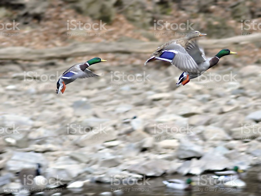 Ducks in Flight royalty-free stock photo