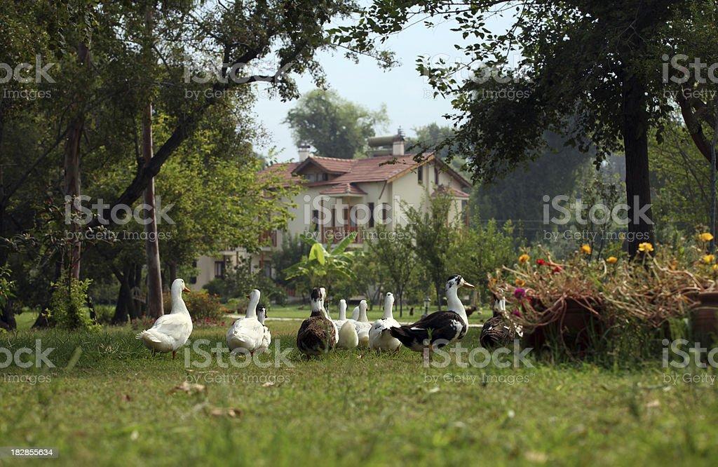 Ducks in Garden royalty-free stock photo