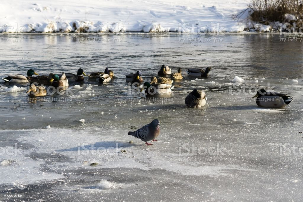 Ducks in he frozen river and snow during winter. royalty-free stock photo