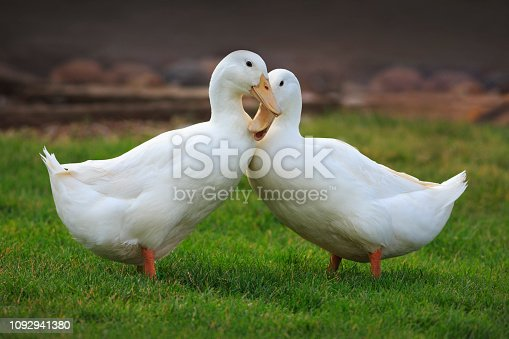 Two white ducks that love each other.