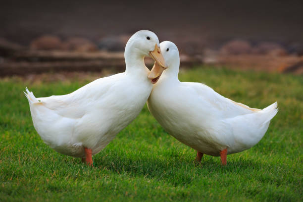 Ducks in Love Two white ducks that love each other. domestic animals stock pictures, royalty-free photos & images