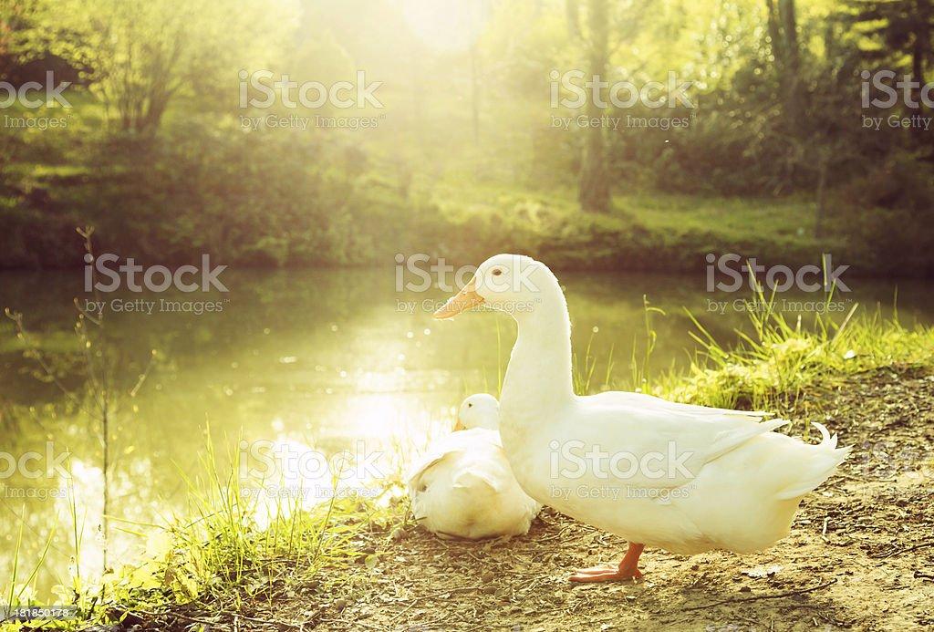 Ducks in Nature stock photo
