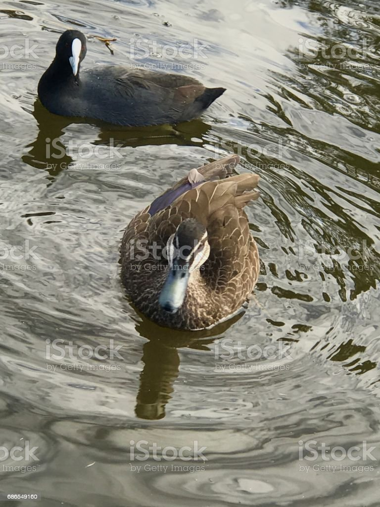 Ducks in the morning royalty-free stock photo