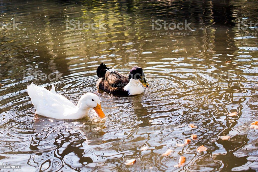 Ducks in the natural environment zbiór zdjęć royalty-free