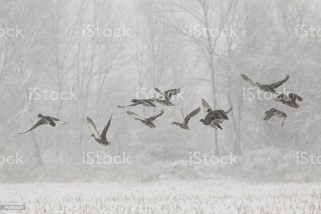 Ducks in the Snow stock photo
