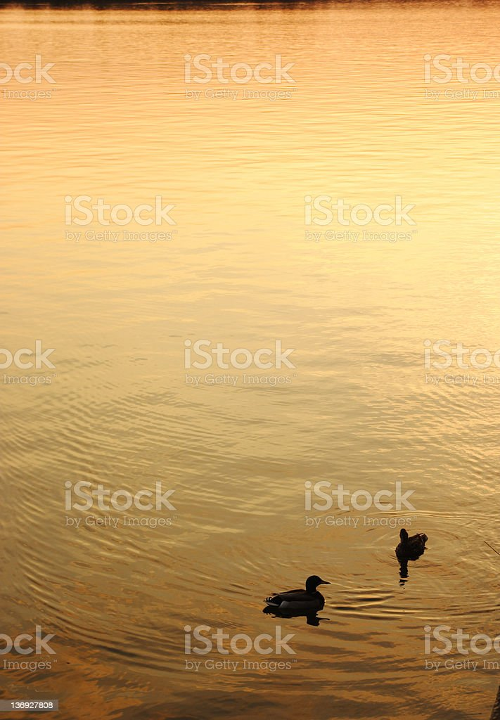 Ducks in the Tidal Basin royalty-free stock photo