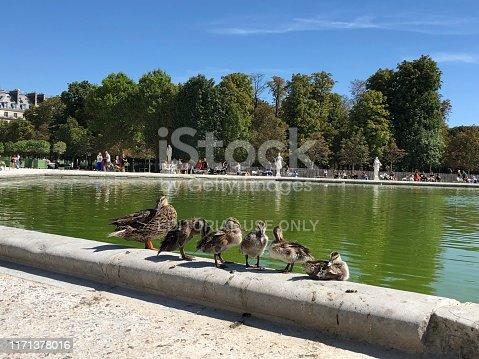 Baby ducks and mother in Tuileries garden, Louvre - Paris
