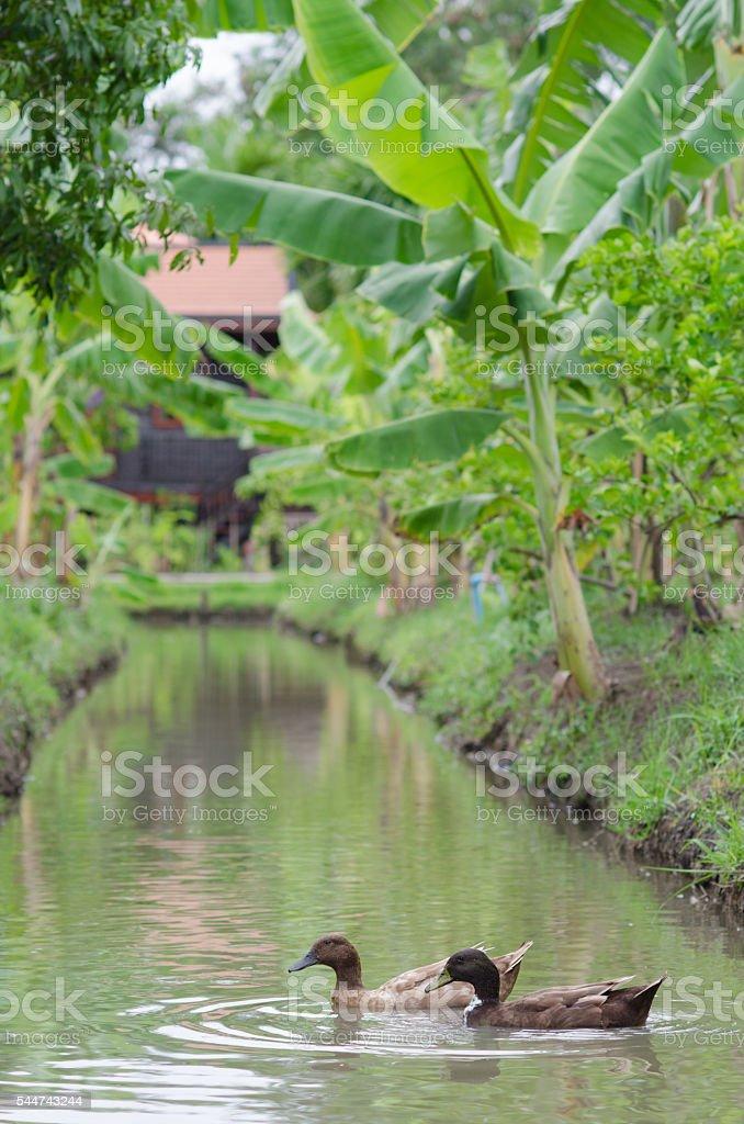 ducks is pet in farm stock photo