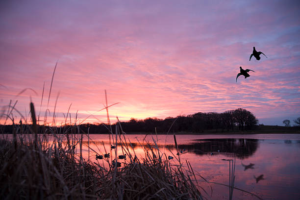 ducks landing at sunrise - hunting stock photos and pictures