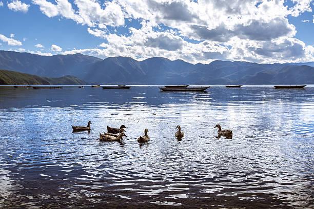 Ducks Lugu lake stock photo
