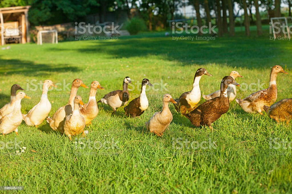 Ducks on a green grass royalty-free stock photo