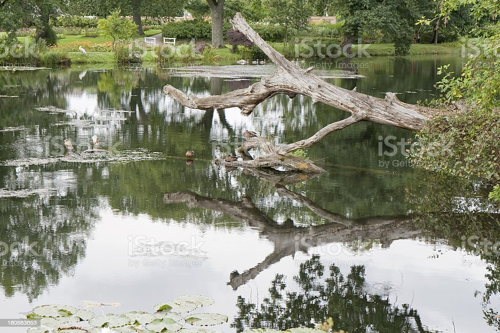 Ducks on  Dead Tree in a Lake royalty-free stock photo