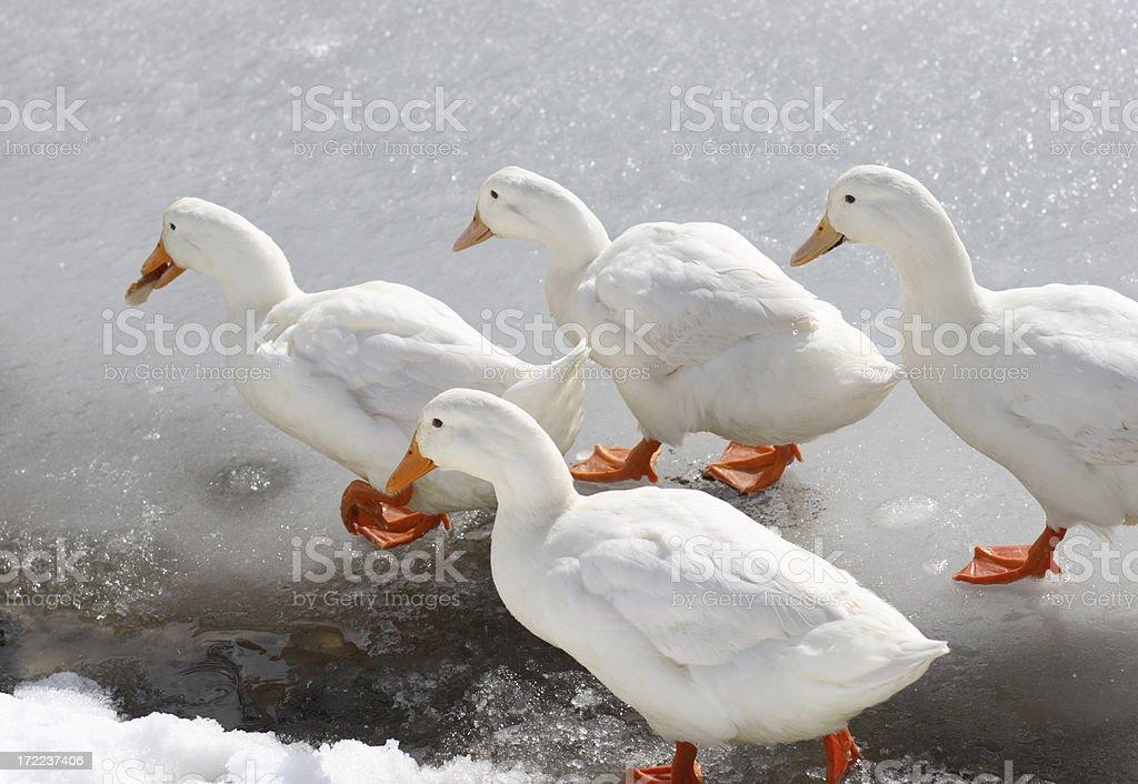 Ducks on Ice royalty-free stock photo