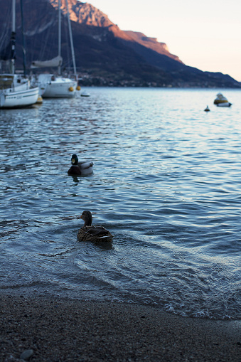 istock Ducks on Lake Como 1217171833