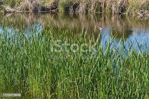 Ducks on pond near Quinta do Lago. Algarve, Portugal