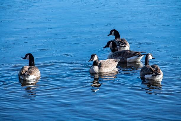 DSC1030D850 Ducks on pond stock photo