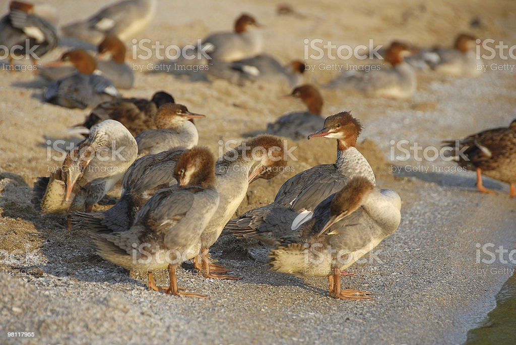 Ducks on the Beach royalty-free stock photo