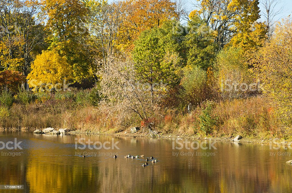 Ducks On The Pond royalty-free stock photo