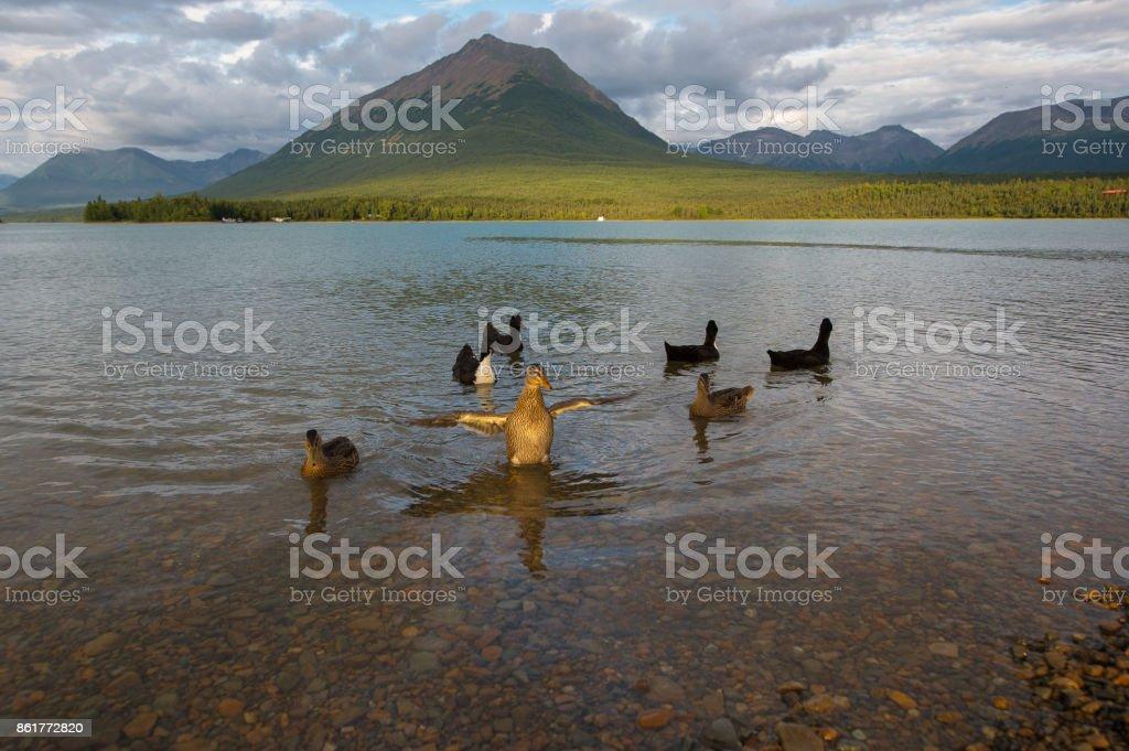 Ducks on the the Lake Clark, Alaska. stock photo