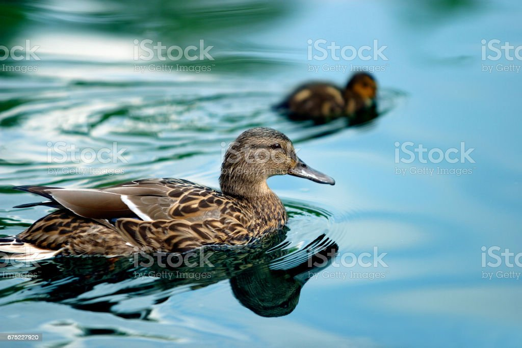 ducks on water royalty-free stock photo