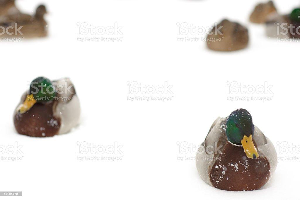 ducks on white snow royalty-free stock photo