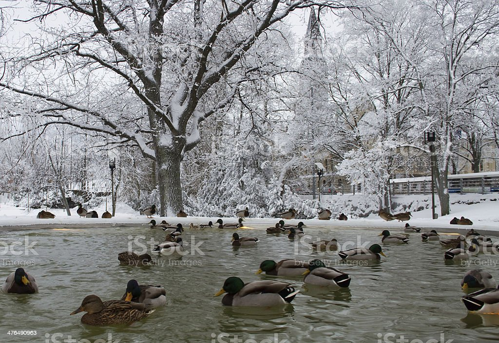 Ducks on winter pond stock photo
