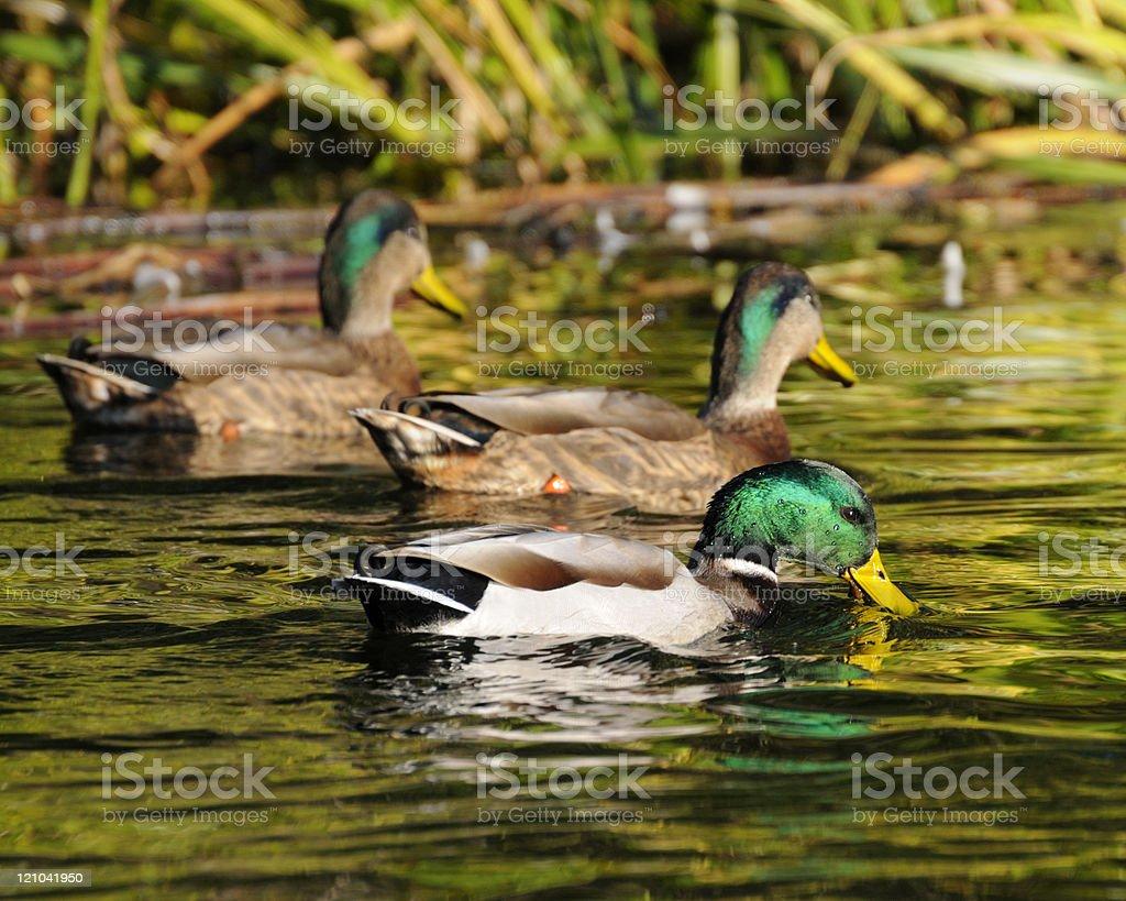 Ducks – Foto