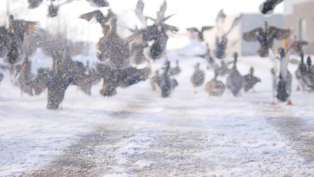 鴨子 - gif 個照片及圖片檔