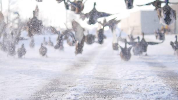 ördekler - gif stok fotoğraflar ve resimler