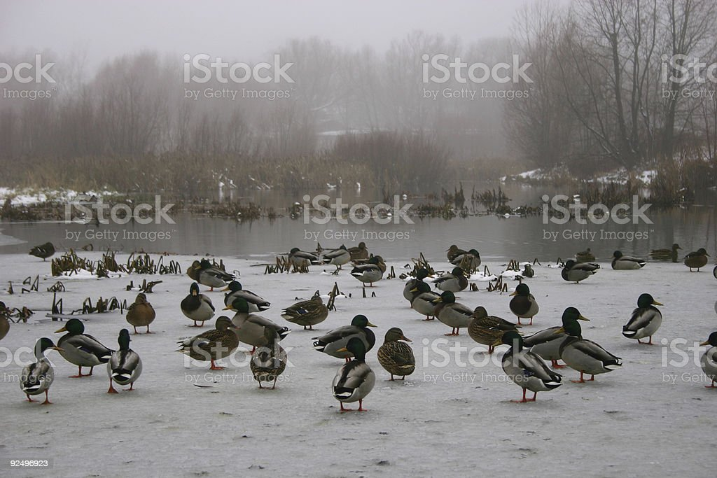 Ducks. royalty-free stock photo