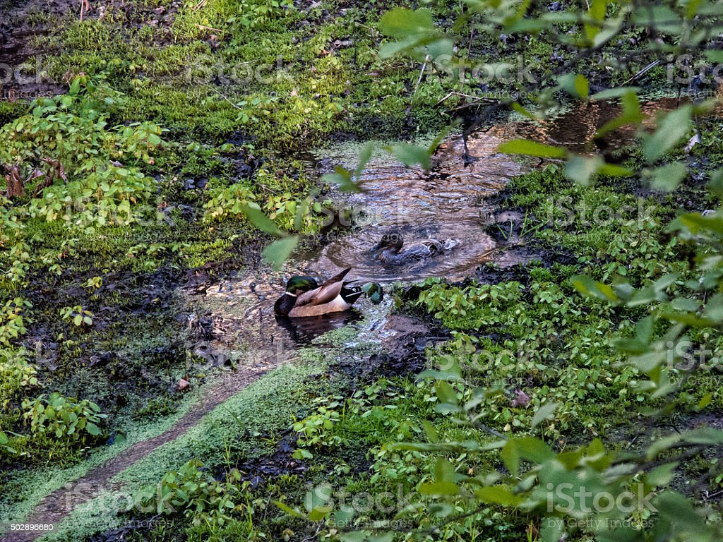 Ducks Playing in a Stream stock photo