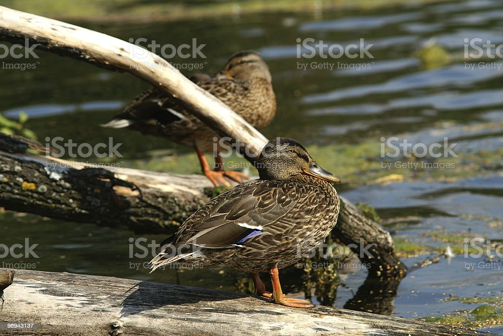 ducks rests on the log royalty-free stock photo