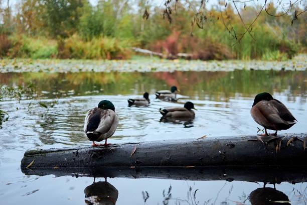 Ducks sleeping on a log in wetlands. stock photo