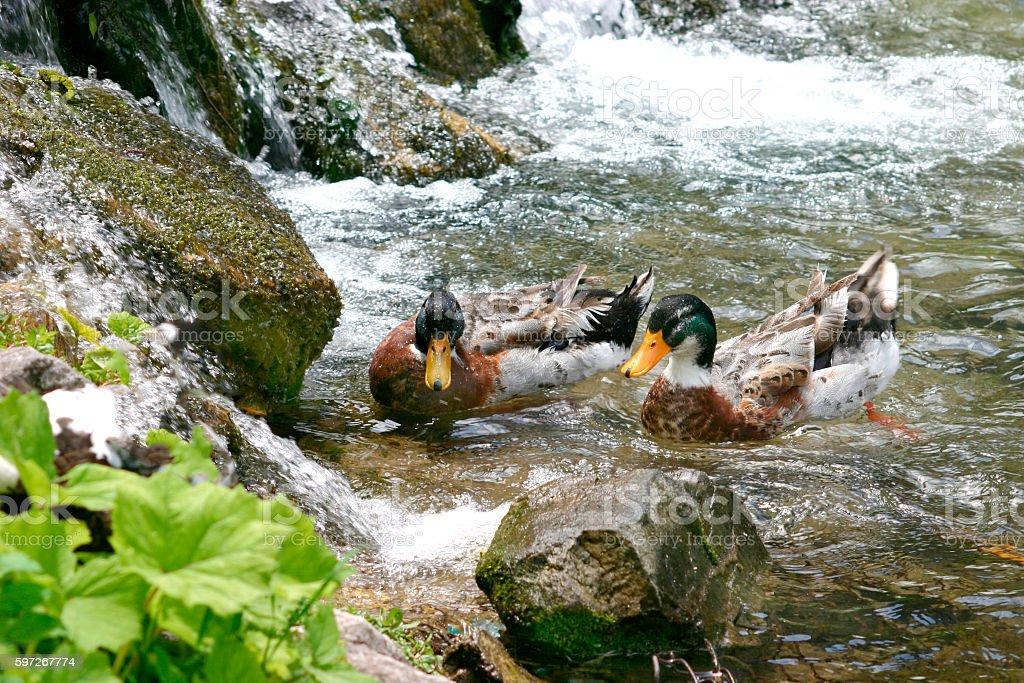Ducks swim in the lush Danube river Lizenzfreies stock-foto