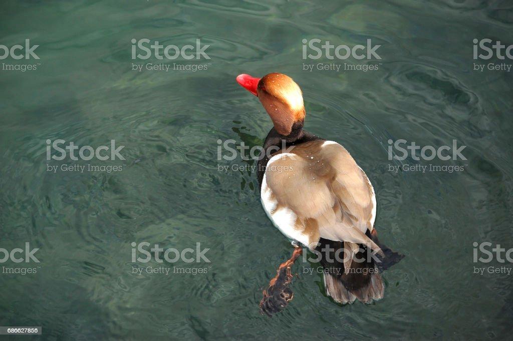 Ducks swim on pond in summer royalty-free stock photo