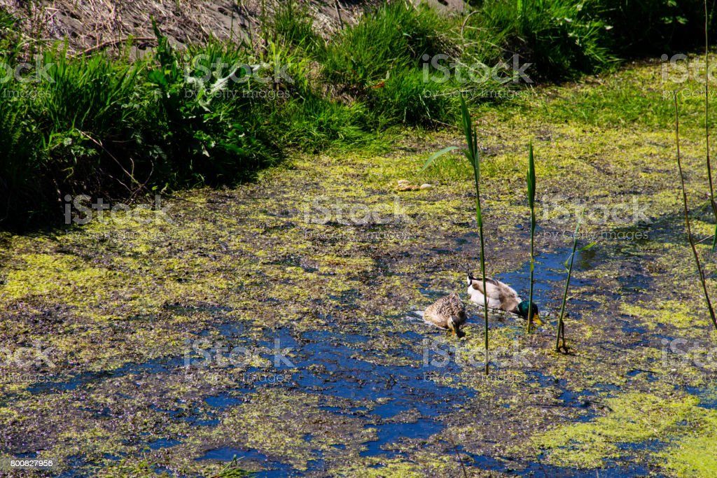 Ducks swimming among marsh plants stock photo