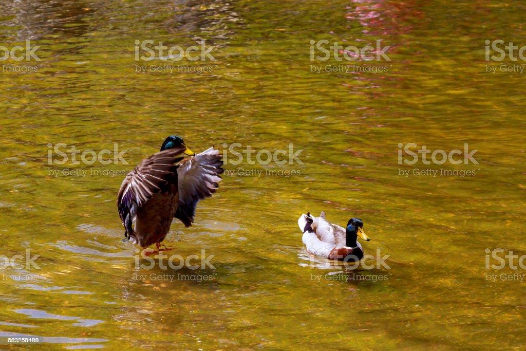 鴨子在一個美麗的湖裡游泳。綠色背景湖。 免版稅 stock photo