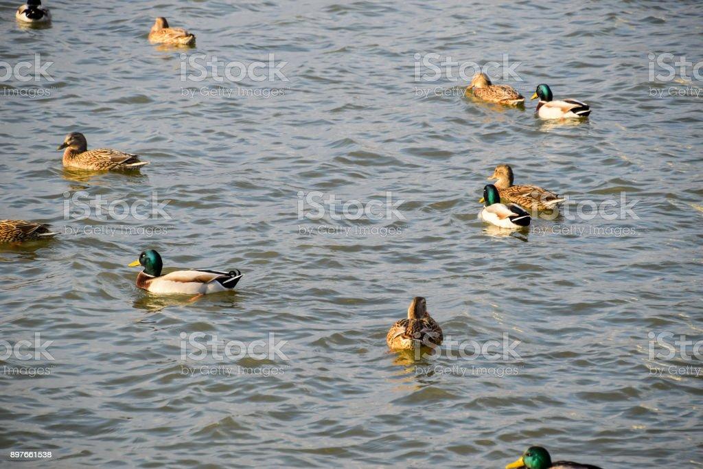 Ducks swimming in the pond. Wild mallard duck. Drakes and female stock photo